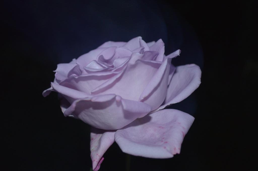 Profil trandafir