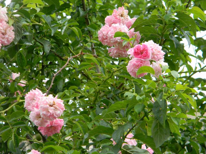 Florile trandafirului urcator roz